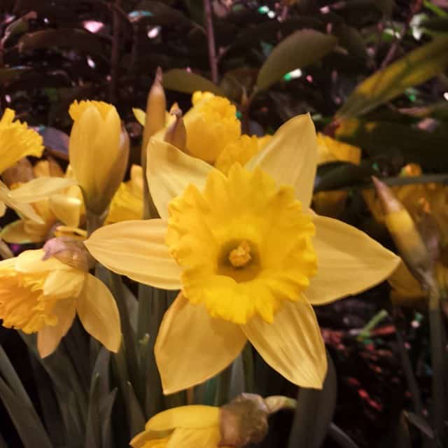 daffodils-in-our-display-at-the-outdoor-living-and-landscape-show-2015-hongslandscape-gardening-flowers-landscaping-plants-wichita-wichitawesome-hongslandscape_16741555911_o